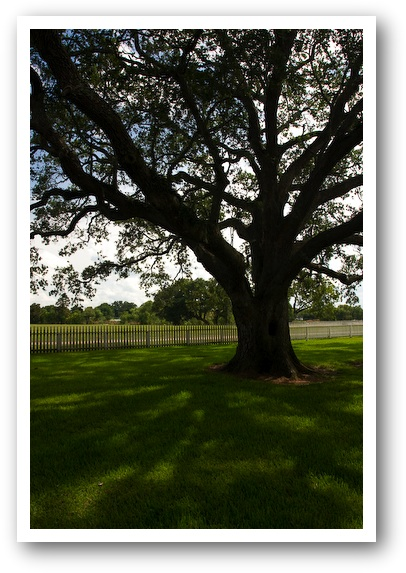 180 Year Old Oak at the George Ranch