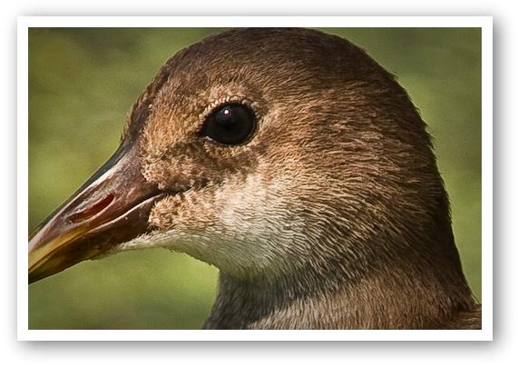 Bird Photography Using the Canon 40D