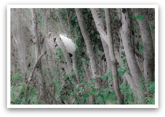 White Ibis Hiding