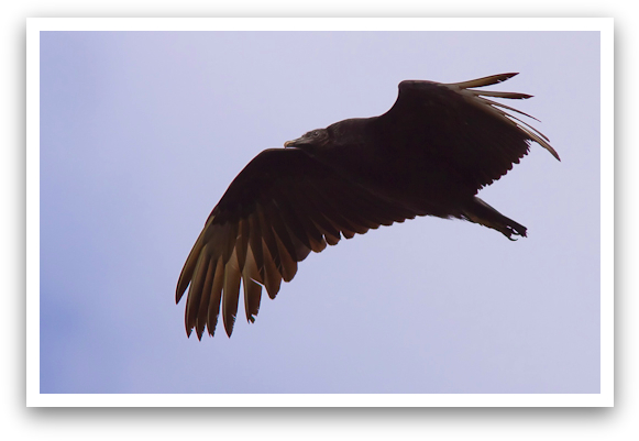 Black Vulture Hunting