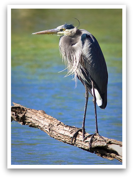 Blue Heron Waiting