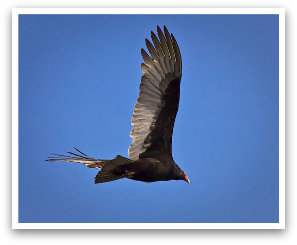 Texas Turkey Vulture Diving