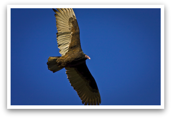 Texas Turkey Vulture Soaring