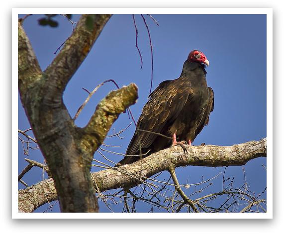 Turkey Vulture Roosting