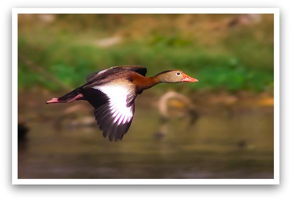 Whistling Duck in Flight