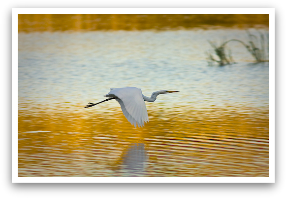 Great White Heron in Flight