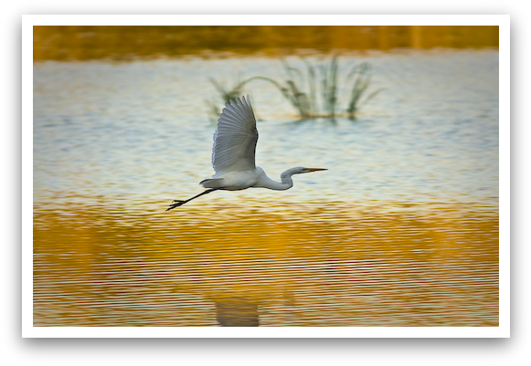 Great White Heron Wings Up