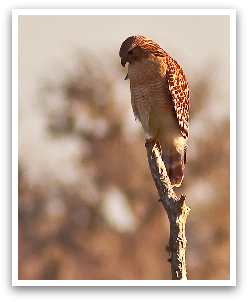 Peering Hawk