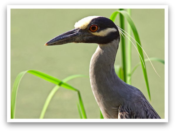 Yellow Crowned Night Heron or Velociraptor?