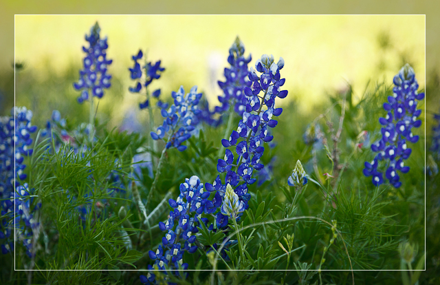 Bluebonnets in Shade