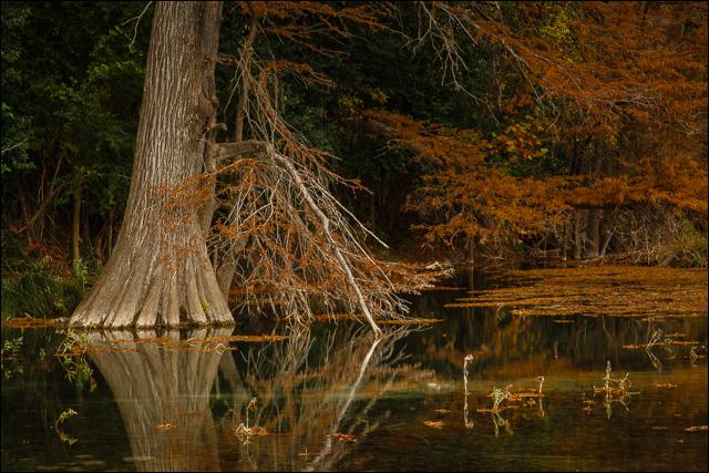 Autumn Cypress