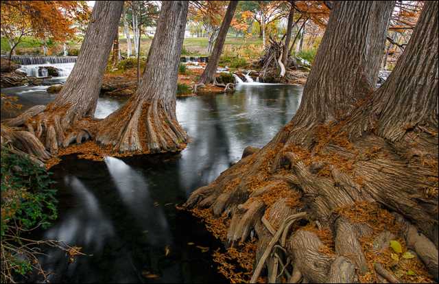 Grand Cypress in Autumn